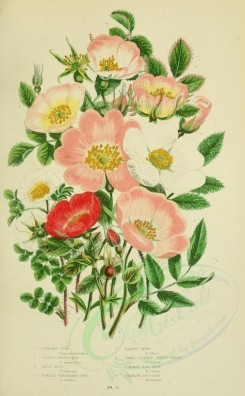 bouquets_flowers-00047 - 073-Cinnamon Rose, Burnet-leaved Rose, Irish Rose, Prickly Unexpanded Rose, Villous Rose, Small-leaved Sweet-Briar, Common Dog-Rose, Trailin Dog-Rose - rosa cinnamomea, rosa spinos [2208x3566]