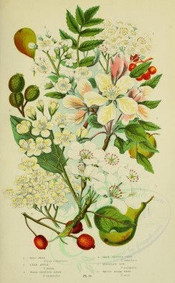 bouquets_flowers-00048 - 076-Wild Pear, Crab Apple, Wild Service Tree, True Service Tree, Mountain Ash, White Beam Tree - pyrus communis, pyrus malus, pyrus torminalis, pyrus domestica, pyrus aucuparia, py [2208x3566]