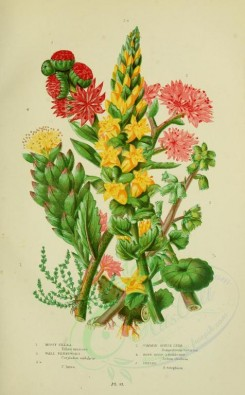 bouquets_flowers-00050 - 007-MOSSY TILLAEA, WALL PENNYWORT, cotyledon lutea, COMMON HOUSE LEEK, ROSE-ROOT STONECROP, ORPINE [2224x3587]