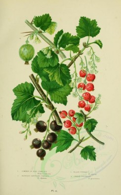 bouquets_flowers-00051 - 009-COMMON OR RED CURRANT, TASTELESS MOUNTAIN CURRANT, BLACK CURRANT, COMMON GOOSEBERRY [2224x3587]