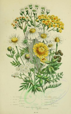 bouquets_flowers-00059 - 057-SEA CHAMOMILE, OX-EYE CHAMOMILE, CORN CHAMOMILE, STINKING CHAMOMILE, SNEEZE-WORT YARROW, DOTTED-LEAVED YARROW, COMMON-MILFOIL, WOOLY-YELLOW MILFOIL, BROAD-LEAVED BUR-WEED [2224x3587]