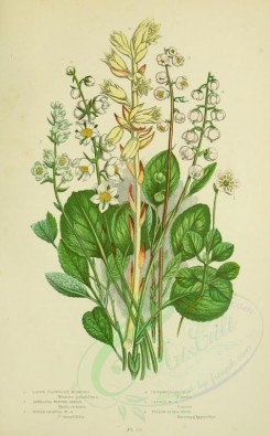bouquets_flowers-00063 - 062-LARGE FLOWERED MONESES, SERRATED WINTER-GREEN, ROUND-LEAVED WINTER-GREEN, INTERMEDIATE WINTER-GREEN, LESSER WINTER-GREEN, YELLOW BIRDS-NEST [2224x3587]