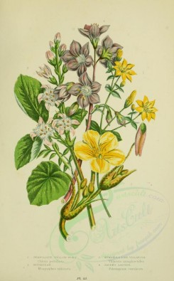 bouquets_flowers-00064 - 066-PERFOLIATE YELLOW-WORT, BUCKBEAN, NYMPHAEA-LIKE WILLARSIA, JACOB'S LADDER [2224x3587]