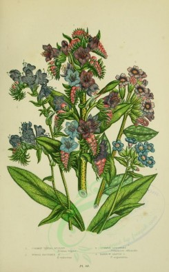 bouquets_flowers-00066 - 069-COMMON VIPERS BUGLOSS, PURPLE FLOWERED BUGLOSS, COMMON LUNGWORT, NARROW LEAVED LUNGWORT [2224x3587]
