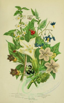 bouquets_flowers-00068 - 074-COMMON THORN APPLE, COMMON HENBANE, BITTERSWEET, COMMON NIGHTSHADE, DEADLY NIGHTSHADE [2224x3587]