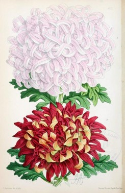 bouquets_flowers-00202 - Chrysanthemums Japanese [1895x2919]