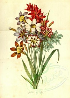 bouquets_flowers-00291 - sparaxis, ixia [3595x5025]