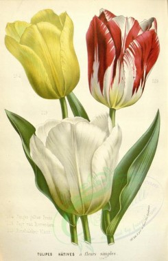 bouquets_flowers-00319 - tulips [2311x3571]