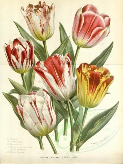 bouquets_flowers-00320 - tulips, 2 [3632x4843]