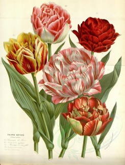 bouquets_flowers-00321 - tulips, 3 [3634x4779]