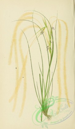 british_grasses-00010 - Common Feather-Grass, stipa pennata