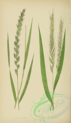 british_grasses-00015 - Creeping Wheat-Grass or Couch Grass, triticum repens, Fibrous-rooted Wheat-Grass, triticum caninum