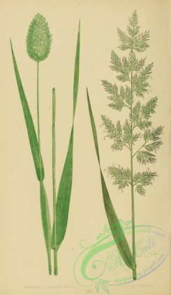british_grasses-00017 - Cultivated Canary Grass, phalaris canariensis, Reed Canary Grass, phalaris arundinacea