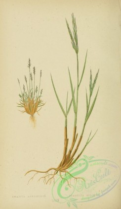 british_grasses-00021 - Early Knappia, knappia agrostidea, Twin-spiked Cord Grass, spartina stricta