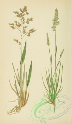 british_grasses-00031 - Holy Grass, hierochloe borealis, Crested Hair-Grass, koeleria cristata
