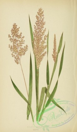 british_grasses-00037 - Meadow Soft Grass, holcus lanatus