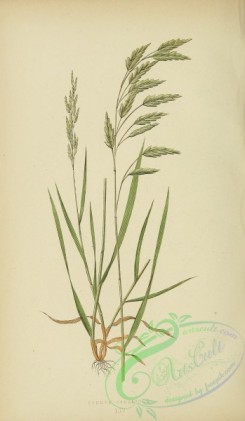 british_grasses-00058 - Smooth Rye Brome-Grass, bromus secalinus