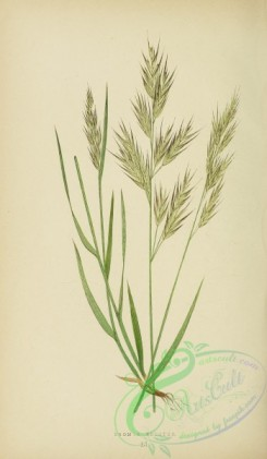 british_grasses-00068 - Upright Oat-Grass, bromus erectus