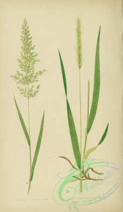 british_grasses-00074 - Yellow Oat-Grass, avena flavescens, Wood Barley, hordeum sylvaticum