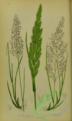 british_grasses-00084 - 010-Wood Small Reed, Purple flowered Small Reed, Narrow Small Reed, calamagrostis epigegos, calamagrostis lanceolata, calamagrostis stricta