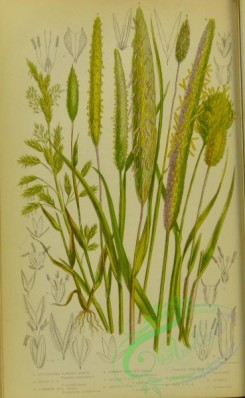 british_grasses-00095 - 024-Cultivated Canary Grass, Reed Canary Grass, Common Sea Reed, Common Cats-tail Grass, Alpine Cats-tail Grass, Rough Cats-tail Grass