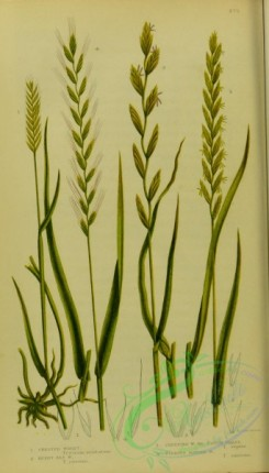 british_grasses-00105 - 034-Crested Wheat, Rushy Sea Wheat, Creeping Wheat, Couch Grass, Fibrous Rooted Wheat, triticum cristatum, triticum junceum, triticum repens, triticum
