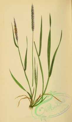 british_grasses-00113 - alopecurus agrestis