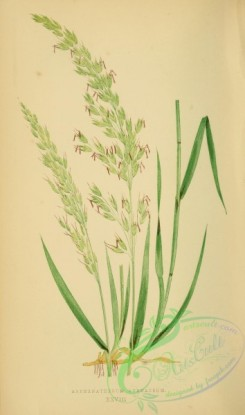 british_grasses-00119 - arrhenatherum avenaceum