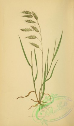british_grasses-00130 - bromus commutatus