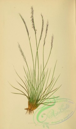 british_grasses-00160 - nardus stricta