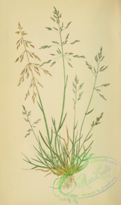 british_grasses-00167 - poa distans