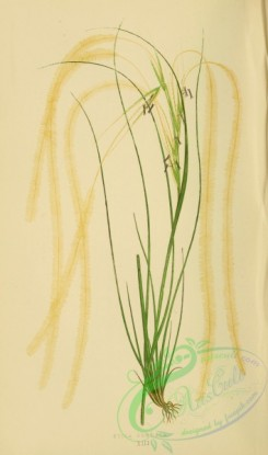british_grasses-00177 - stipa pennata