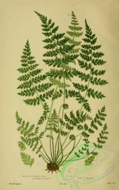 british_plants-00001 - 001-Brittle Bladder Fern, cystopteris fragilis, cystopteris fragilis angustata
