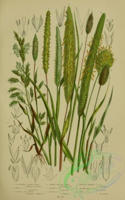british_plants-00025 - 025-Cultivated Canary Grass, Reed Canary Grass, Common Sea-Reed, Common Cats-tail Grass, Alpine Cats-tail Grass, Rough Cats-tail Grass,