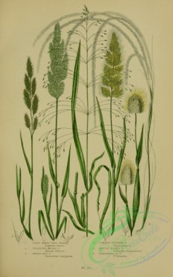 british_plants-00026 - 026-Ovate Hares Tail Grass, Spreading Millet Grass, Awned Nit Grass, Common Feather Grass, Annual Beard Grass, Perennial Beard Grass, l