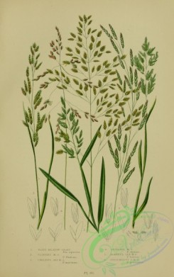 british_plants-00034 - 034-Reed Meadow Grass, Floating Meadow Grass, Creeping Sea Meadow Grass, Reflexed Meadow Grass, Borrer's Sea Meadow Grass, Procumbent S