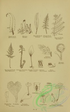 british_plants-00048 - 048-Black Spleenwort, Male Fern, Adder's-tongue, Hart's-tongue, Bladder Fern, decompound frond, circinnate vernation, straight vernatio