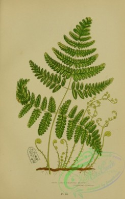 british_plants-00052 - 052-Rigid Three Branched Polypody, Polypodium calcareum