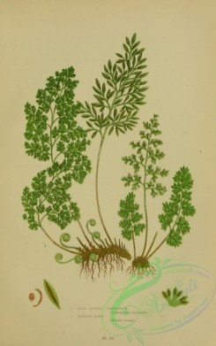 british_plants-00054 - 054-Fine leaved Gymnogram, Parsley Fern, gymnogramme leptophylla, allosorus crispus