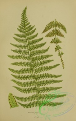 british_plants-00057 - 057-Mountain Fern, lastrea oreopteris