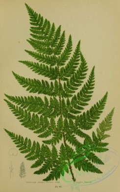 british_plants-00060 - 060-Triangular Prickly-toothed Fern, lastrea foenisecii