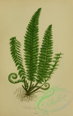 british_plants-00064 - 064-Holly Fern, polystichum lonchitis