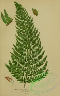 british_plants-00065 - 065-Common Prickly Fern, polystichum aculeatum, polystichum lobatum