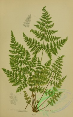 british_plants-00068 - 068-Mountain Bladder Fern, Alpine Bladder Fern, cystopteris montana, cystopteris alpina