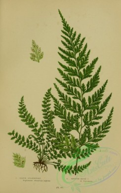 british_plants-00070 - 070-Black Spleenwort, Smooth Rock-Spleenwort, asplenium adiantum-nigrum, asplenium fontanum