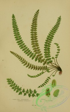 british_plants-00073 - 073-Common Wall Spleenwort, Ditto, asplenium trichomanes, asplenium trichomanes incisum