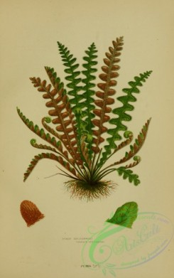 british_plants-00075 - 075-Scaly Spleenwort, ceterach officinarum