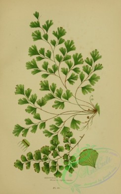 british_plants-00079 - 079-Maidenhair, adiantum capillus-veneris