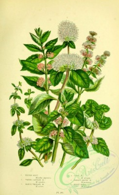 british_plants-00095 - 007-Pepper Mint, Water Capitate Mint, Marsh Whorled Mint, Corn Mint, Narrow leaved Mint, Penny Royal, mentha piperita, mentha aquatica, mentha sativa, mentha arvensis, mentha pratensis, mentha pulegium