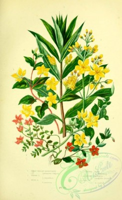 british_plants-00103 - 015-Great Yellow Loosestrife, Tufted Loosestrife, Wood Loosestrife, Creeping Jenny, Scarlet Pimpernel, Bog Pimpernel, ly